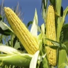 russia-bans-gm-corn